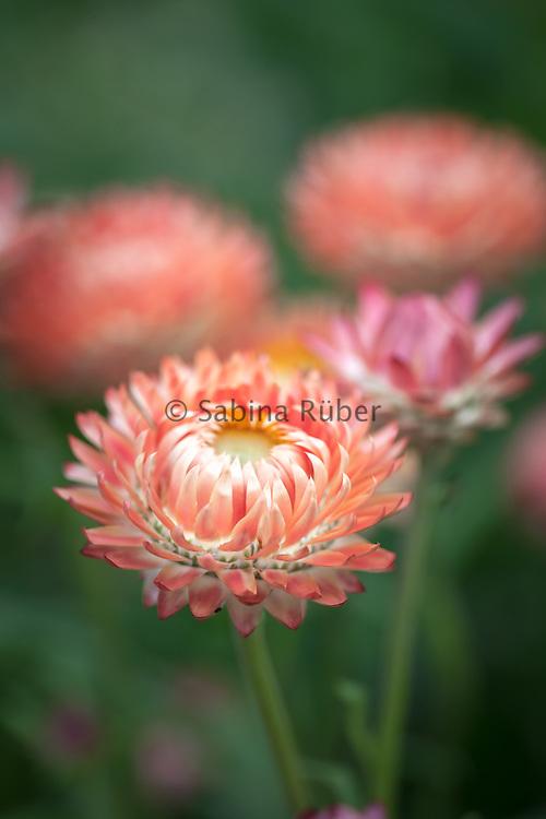Xerochrysum bracteatum 'Salmon Rose' - everlasting flower