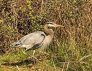 Wildlife, Great Blue Heron stalking fish along rivers edge. Boise River Greenbelt, Boise, Id