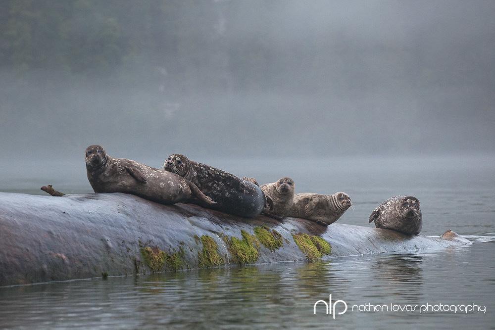 Harbor Seals resting on log;  British Columbia in wild.