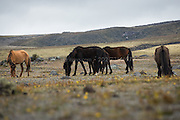 Wild horses graze in the sparse Paramo grasslands that surround Cotopaxi Volcano in Ecuador.