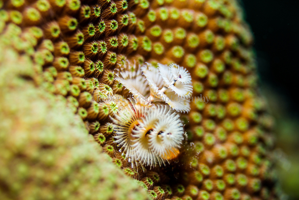 Christmas tree worm living in a piece of star coral.