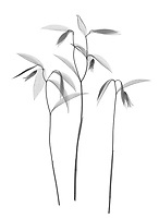 X-ray image of a sessile bellwort cluster (Uvularia sessilifolia, black on white) by Jim Wehtje, specialist in x-ray art and design images.