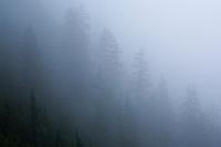 Trees in the fog near Snoqualmie Pass, Washington, USA.