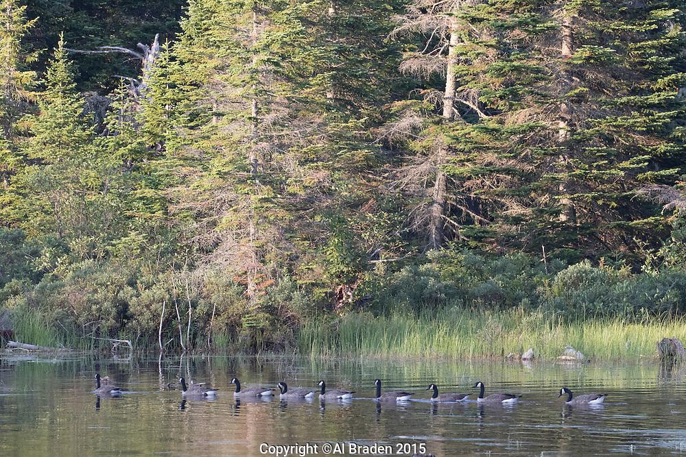 Canada Geese on Scott Bog, Pittsburg, NH