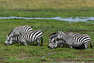 Common zebras (Equus quagga), Amboseli National Park, Kenya.