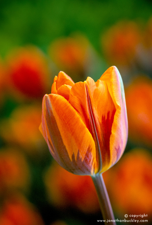 Tulipa 'Prinses Irene