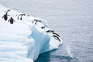 Gentoo penguins, Errera Channel, Gerlache Strait, Antarctic Peninsula / Pingüinos juanitos, Canal de Errera, Antártida