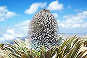Africa, Ethiopia,Oromia Region, Bale Mountains, flowering giant lobelia, Lobelia deckenii