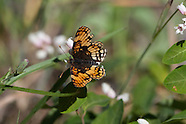 Chlosyne h. hoffmanni - Hoffman's Checkerspot