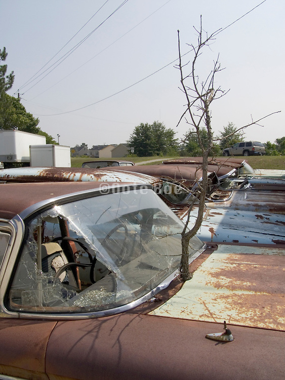 classic cars sitting in a junkyard with tree growing out of it hood