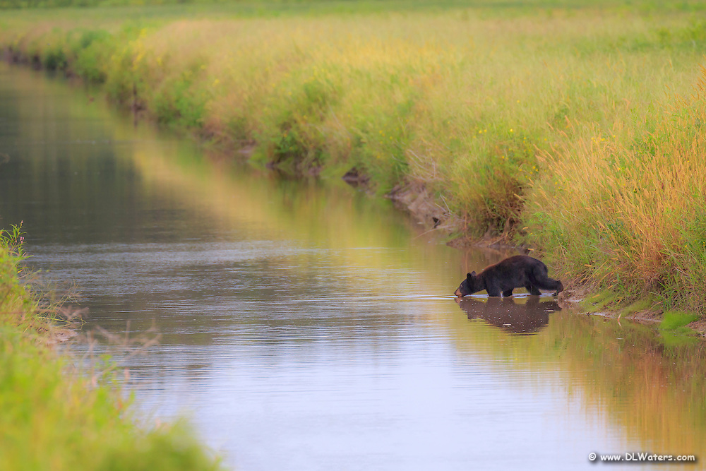Young black bear drinking out of a canal at the Alligator River Wildlife Refuge.