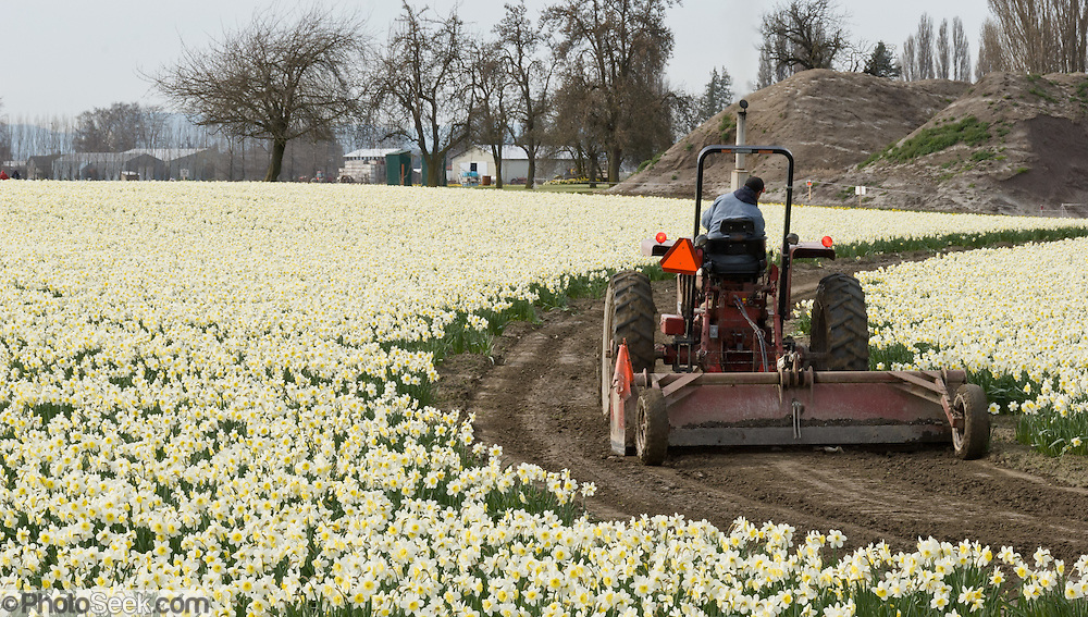 A farm tractor drives though a field of white daffodil (Narcissus) flowers blooming in the Skagit River Delta, Washington, USA between the towns of Mount Vernon and La Conner.