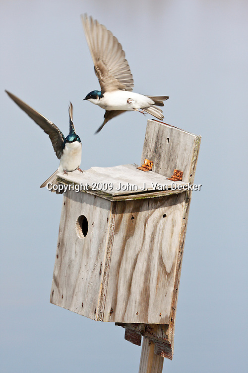 Tree Swallows flying near birdbox