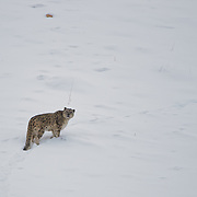 Wild Snow Leopard Photographed in the Mighty Mountains of Indian Himalayas by Sagar Gosavi. Altitude 15000ft to 16000ft. <br /> Photographed in Spiti, Himachal Pradesh, India.