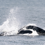 This is a young Eden's whale (Balaenoptera edeni edeni) in the Gulf of Thailand side-lunging through a mass of fish, likely Sardinella sp., that this whale and its mother had aggregated by swimming in a large circle. This circle and side-lunge technique has become the dominant foraging technique since 2017, replacing the open-mouth trap feeding strategy that had been prevalent since the 1990s. I believe this reflects a change of target prey. The whales adapt their foraging strategies to target species.
