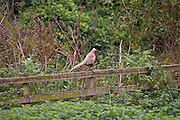 Male pheasant perched on a fence, Cotswolds, Oxfordshire, England