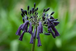 Agapanthus 'Black Magic'. African lily