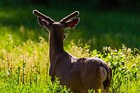 A deer in Yosemite Valley, Yosemite National Park, California USA.