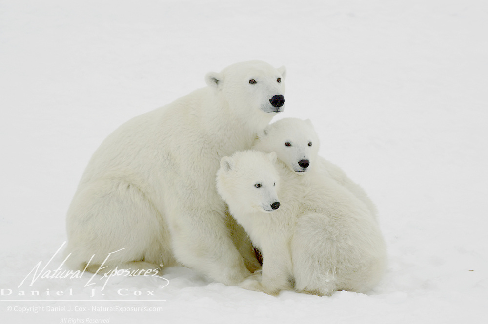 Polar Bear cubs waiting patiently near their mother at Cape Churchill, near Churchill, Manitoba, Canada.