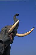 Indian Elephant<br />elephas maximus<br />Kaziranga National Park. Assam,  INDIA<br />RANGE: Indian Sub-continent into China, Nepal, Bhutan
