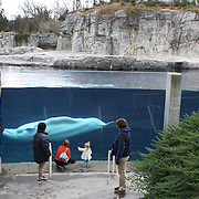 Beluga Whales are viewed by visitors at the viewing window at Mystic Aquarium.  Mystic, Connecticut. USA. 3rd December 2015. Photo Tim Clayton