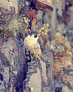 Peregrine falcon (Falco peregrinus tundrius) near her cliff nest (Bathurst Inlet, Canada)