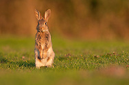 European Rabbit (Oryctolagus cuniculus) young, standing on back legs on grazing marsh, Norfolk, Uk.