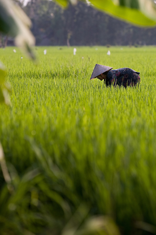 A farmer on a rice paddy in the Mekong Delta, Vietnam.