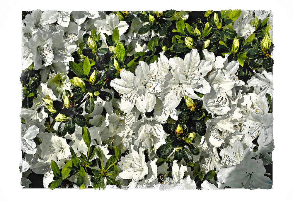 Cluster of white azaleas blooming on a shrub, printed with a rough edge to the image.