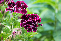 Vibrant and Bold Purple Geranium Floral Blooms From The Garden