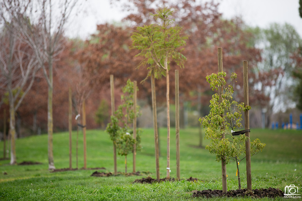 A row of freshly planted trees stand after a tree planting event at Murphy Park in Milpitas, California, on February 15, 2014. Volunteers planted 50 trees at both Murphy Park and Cardoza Park. (Stan Olszewski/SOSKIphoto)