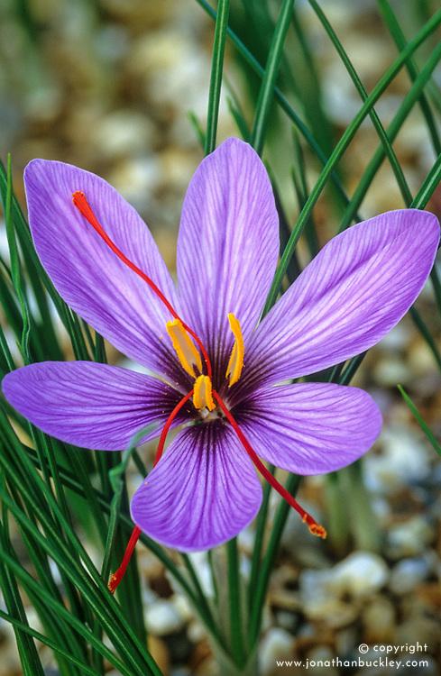 Crocus sativus. Saffron crocus