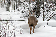 Whitetail doe in snowy winter habitat