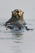 A California Sea Otter (Enhydra lutris) anchored in Eelgrass (Zostera marina)  - Elkhorn Slough, California