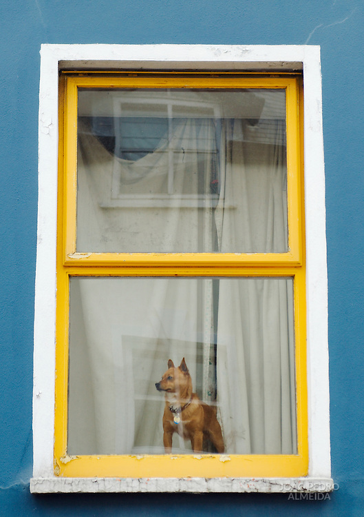 Dog looking outside the window of a colorful house at Dingle