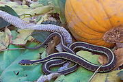 Common Garter Snake; Thamnophis sirtalis; WA, Skagit County