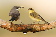 Common Chiffchaff (Phylloscopus collybita) and Orphean Warbler (Sylvia hortensis) together on a branch, negev desert, israel