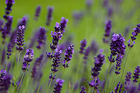 A field filled with vibrant and fragrant lavender.