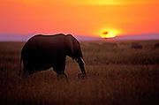 Image of an African Bush Elephant (Loxodonta africana) at the Masai Mara National Reserve in Kenya, Africa