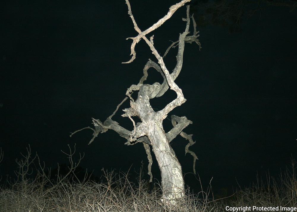 eerie dead tree on Jekyll Island beach
