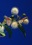 Monarch butterflies and Button Bush, Norfork Lake, Arkansas