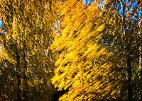 Fall Colours., British Columbia, Canada, Isobel Springett