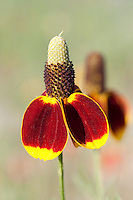 Mexican Hat (Ratibida columnifera), Burnet County, Texas