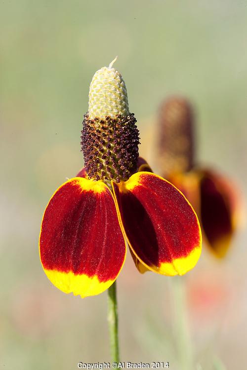 Mexican Hat (Ratibida columnifera), Burnet County, Texas