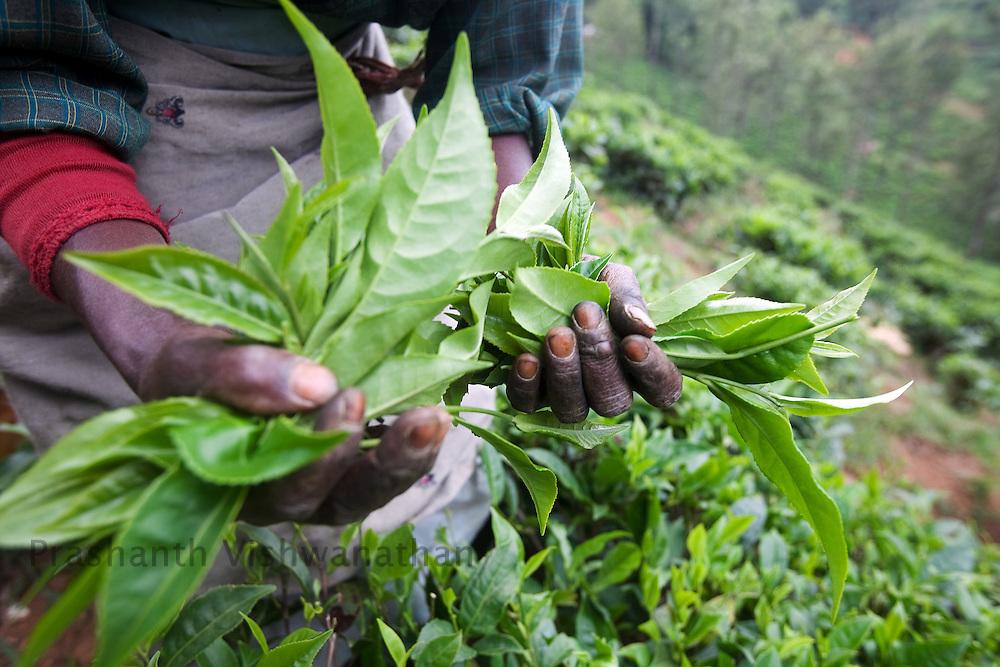 A worker hand picks picks tea leaves at a Tea estate in Conoor, India, on Friday May 21, 2010. Photographer: Prashanth Vishwanathan/Bloomberg News