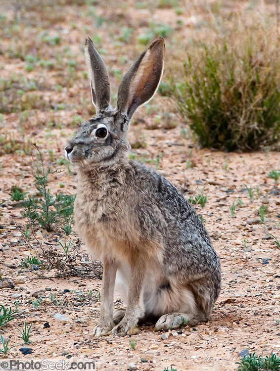 What Food Does A Jackrabbit Eat