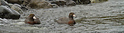 Blue Duck, Hollyford River, Fiordland, New Zealand