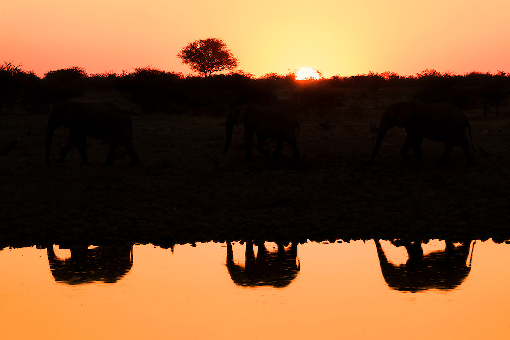 Reflections of elephants at a water hole, Etosha National Park, Namibia.