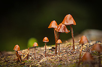 These tiny mushrooms are very common in the mountain areas of the Pacific Northwest in the fall. These were photographed in a coniferous forest on Mount Rainier in Western Washington.