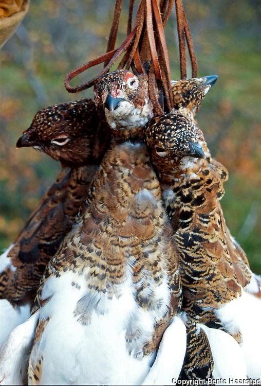 ryper i galge.fuji RDP III Hunting red grouse, Lagopus lagopus. Liryper i rypegalge.